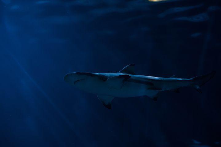 深海を泳ぐサメ
