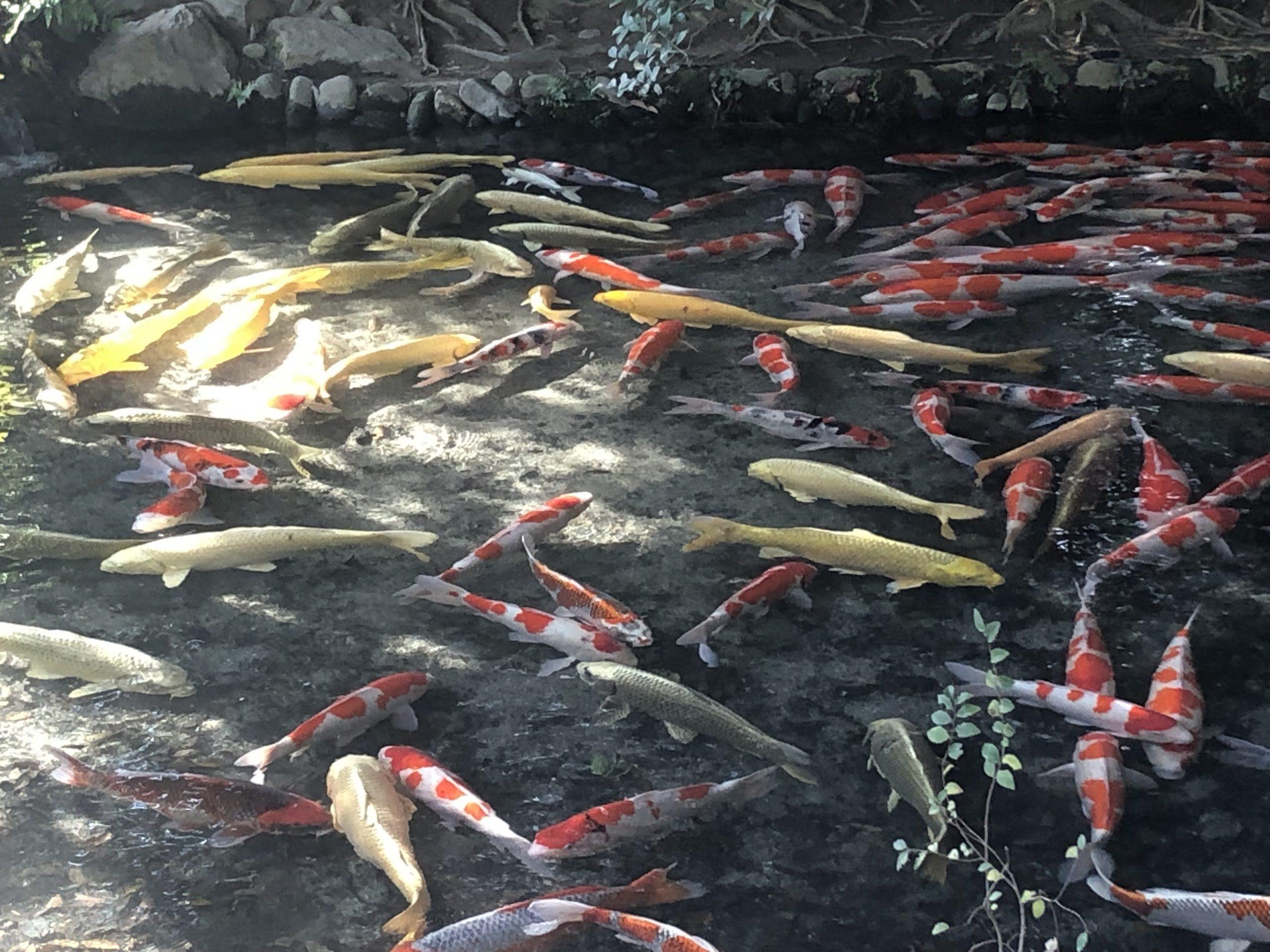 錦鯉の群れ